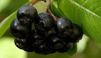 Целебные свойства черноплодной рябины